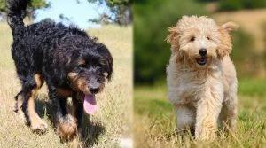 Bernedoodle-vs-Goldendoodle-Life-Span