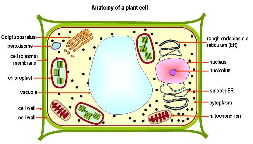 flower parts diagram rockford fosgate t1 12 wiring animal cell