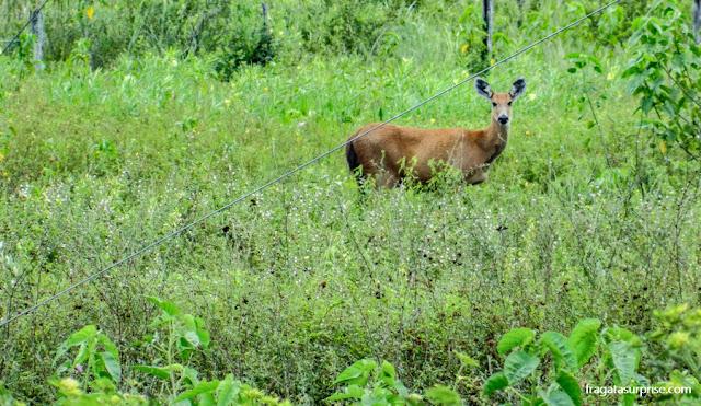 Férias de julho Brasil - veado pantaneiro, fauna do Pantanal do Mato Grosso