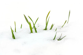 Green leaves popping up out of the snow.