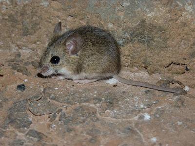 Small Vesper Mouse