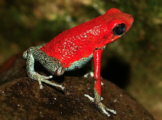 brightly colored poisonous frog