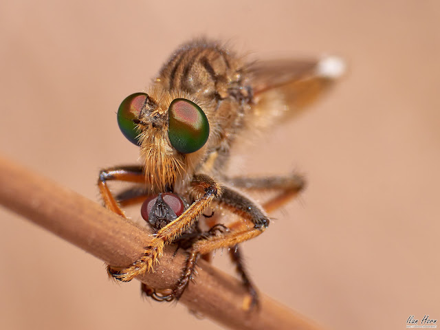 Robber Fly with Catch