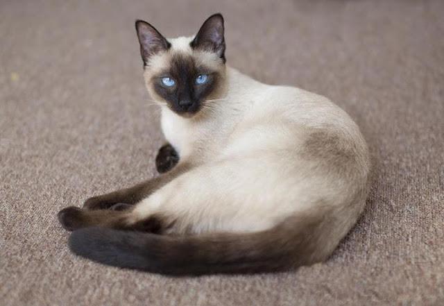 Top 10 loài mèo đẹp nhất hành tinh