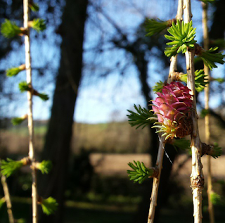 Larch flowers 2015 :: www.AliceDrawsTheLine.co.uk