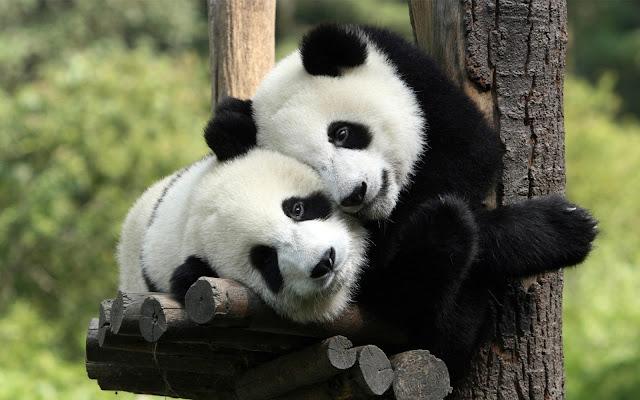 Twee panda's in een boom