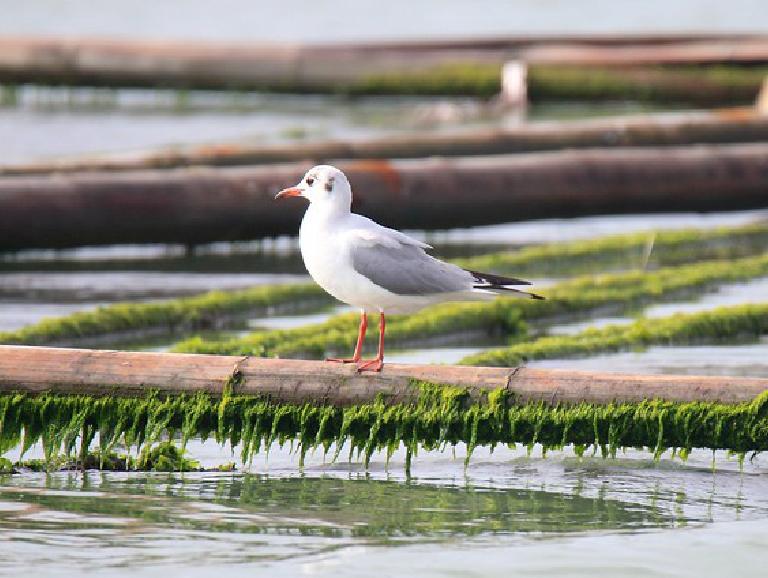 Saunders gull (Chroicocephalus saundersi)