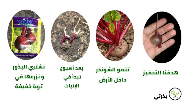زراعة الشمندر الشوندر البنجر الباربا في المنزل