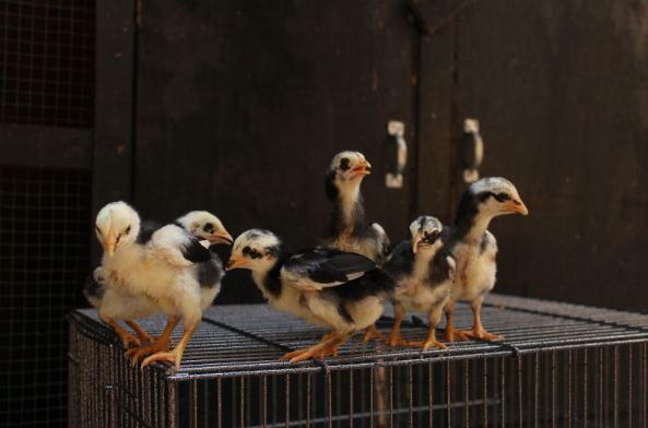 Ciri Ayam Jantan Umur 1 Bulan Yang Bagus