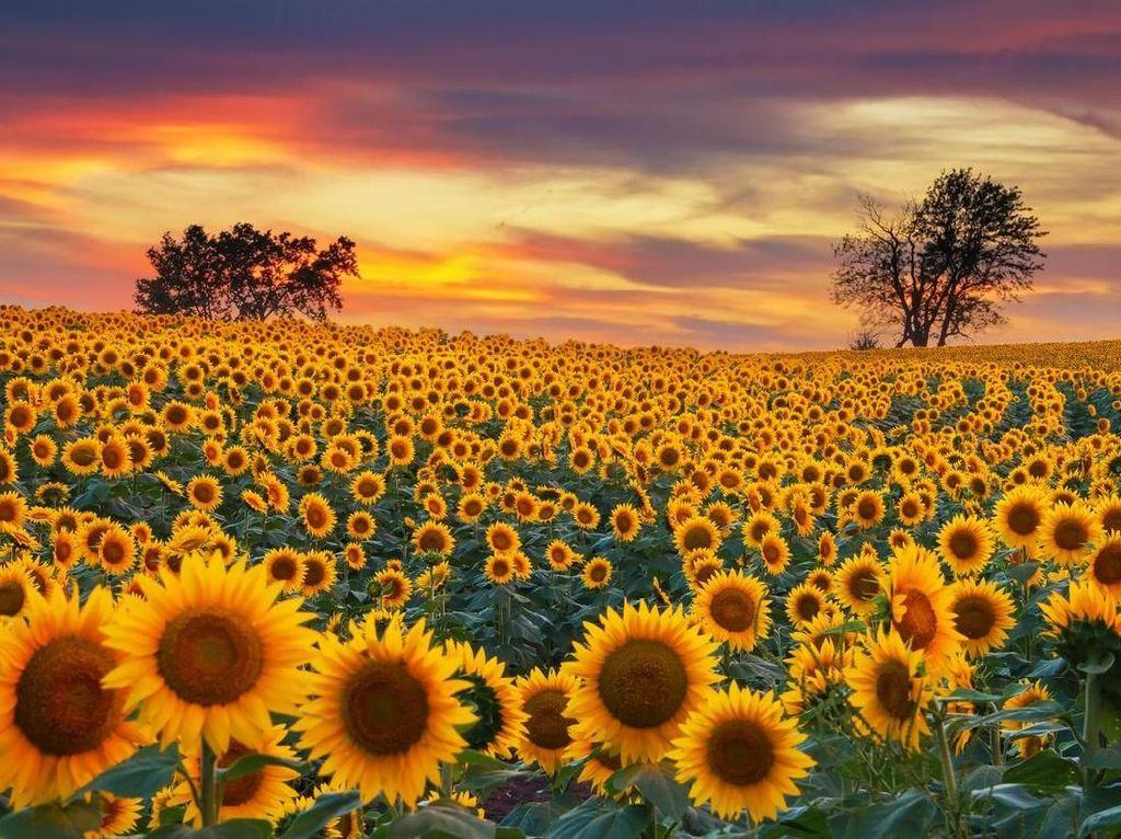 Contoh Deskripsi Singkat Bunga Matahari Dalam Bahasa Inggris