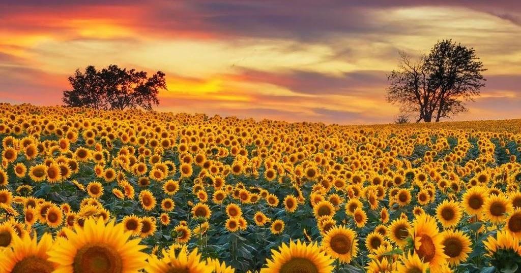 Contoh Deskripsi Singkat Bunga Matahari Dalam Bahasa Inggris Dan Artinya Bahasa Inggris Xyz
