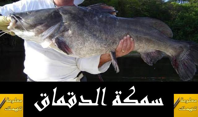 سمكة الدقماق