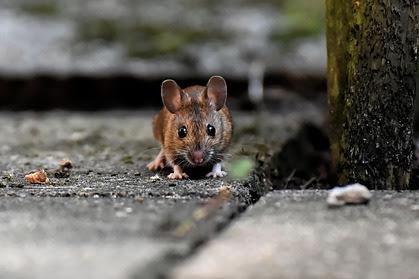 Rumah Walet Di Serang Tikus,Kerugian DanCara Mengatasi Tikus