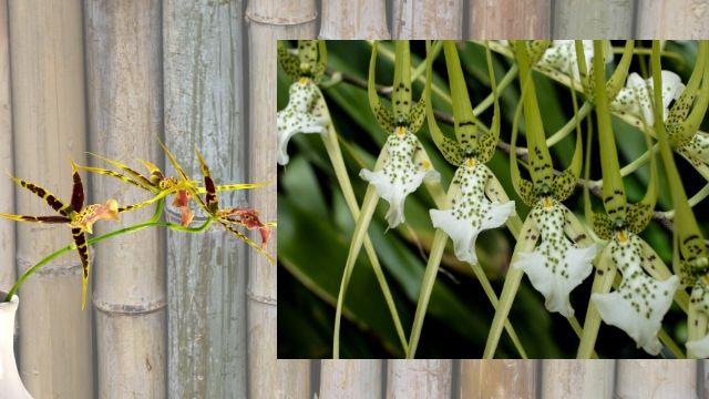Grow fragrant-fantastic Brassia Orchid