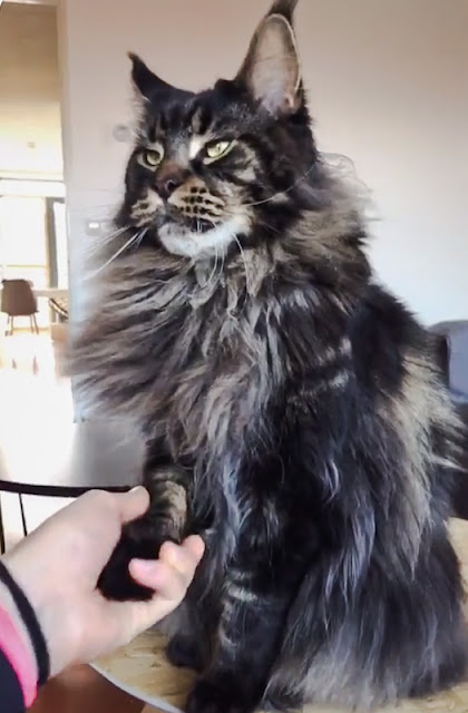 Maine Coon who shakes your hand