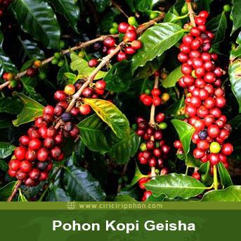 ciri ciri pohon kopi geisha