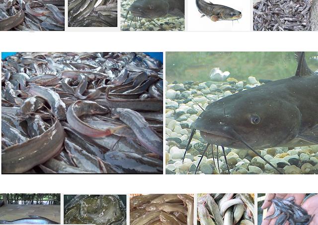 Ikan Lele (Keli) Jenis Ikan Berkumis Yang Hidup di Air Tawar