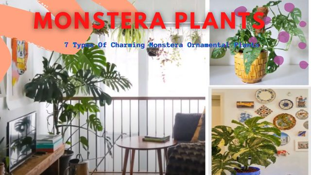 7 Types Of Charming Monstera Ornamental Plants