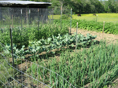 vegetables growing in a small garden