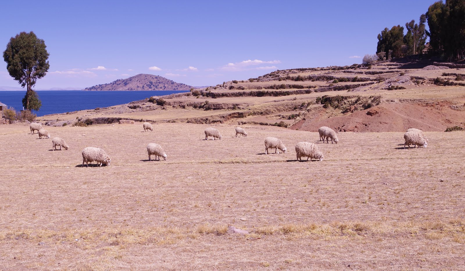 Amantani - Grazing Sheep