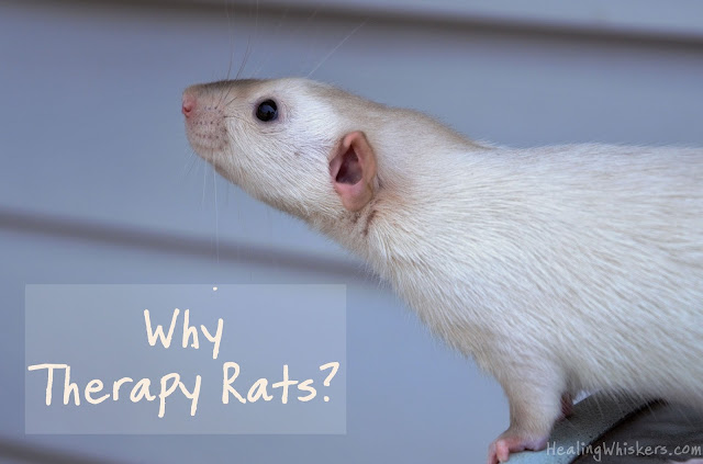Why Therapy Rats?