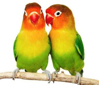 ciri-ciri jenis  kelamin lovebird kacamata jantan dan betina