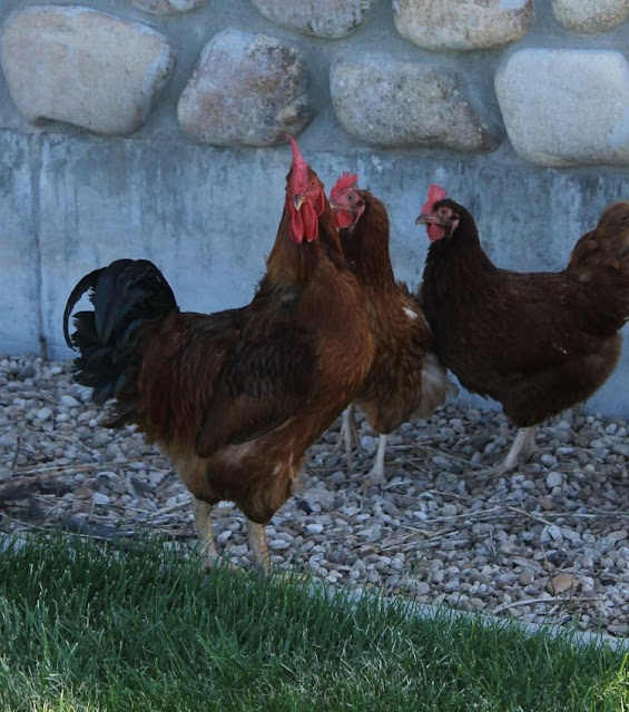 do you need a rooster for chickens to lay eggs