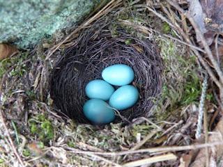 Photo de nid d'oiseau - oeufs d'oiseaux - oeuf dans un nid