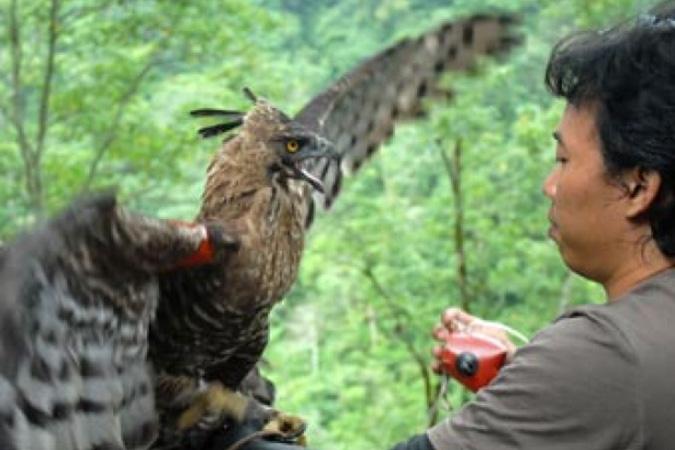 Dlium Javan hawk-eagle (Nisaetus bartelsi)