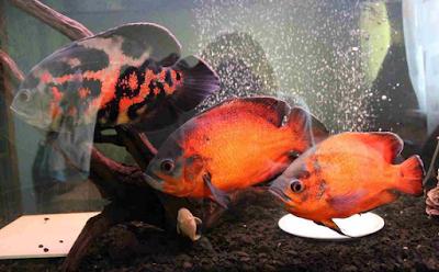 melihat berpasangan adalah Cara Memedakan Ikan Oscar Jantan Dan Betina