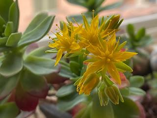 The flowers of Sedum palmeri with 5 petals and 5 sepals.