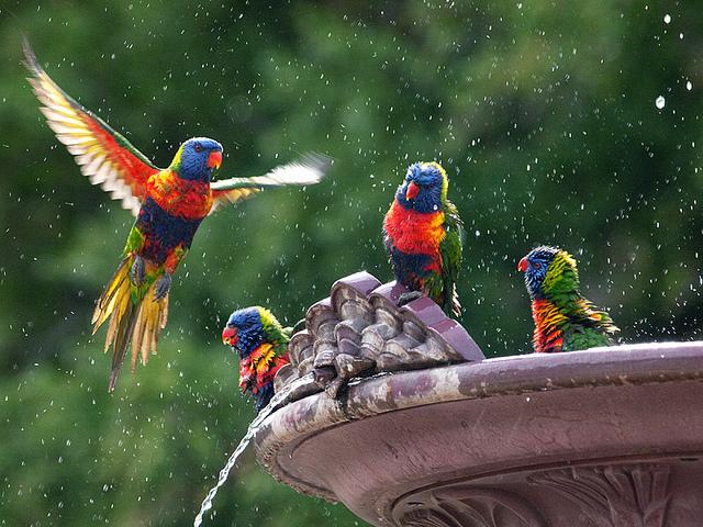 A Beautiful Couple Of Lorikeet Birds Wallpaper Hd