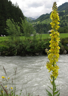 Tall stalk with yellow wildflowers on the banks of the River Simme, Lenk, Switzerland