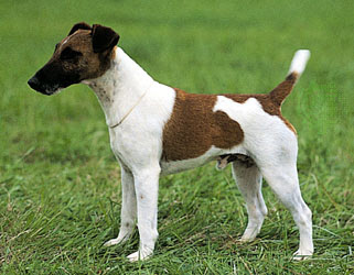 About Dog Smooth Fox Terrier