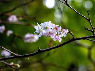 Jyugatu-zakura (Cerasus ×subhirtella Masam. & Suzuki 'Autumnalis') flowers: Tokei-ji