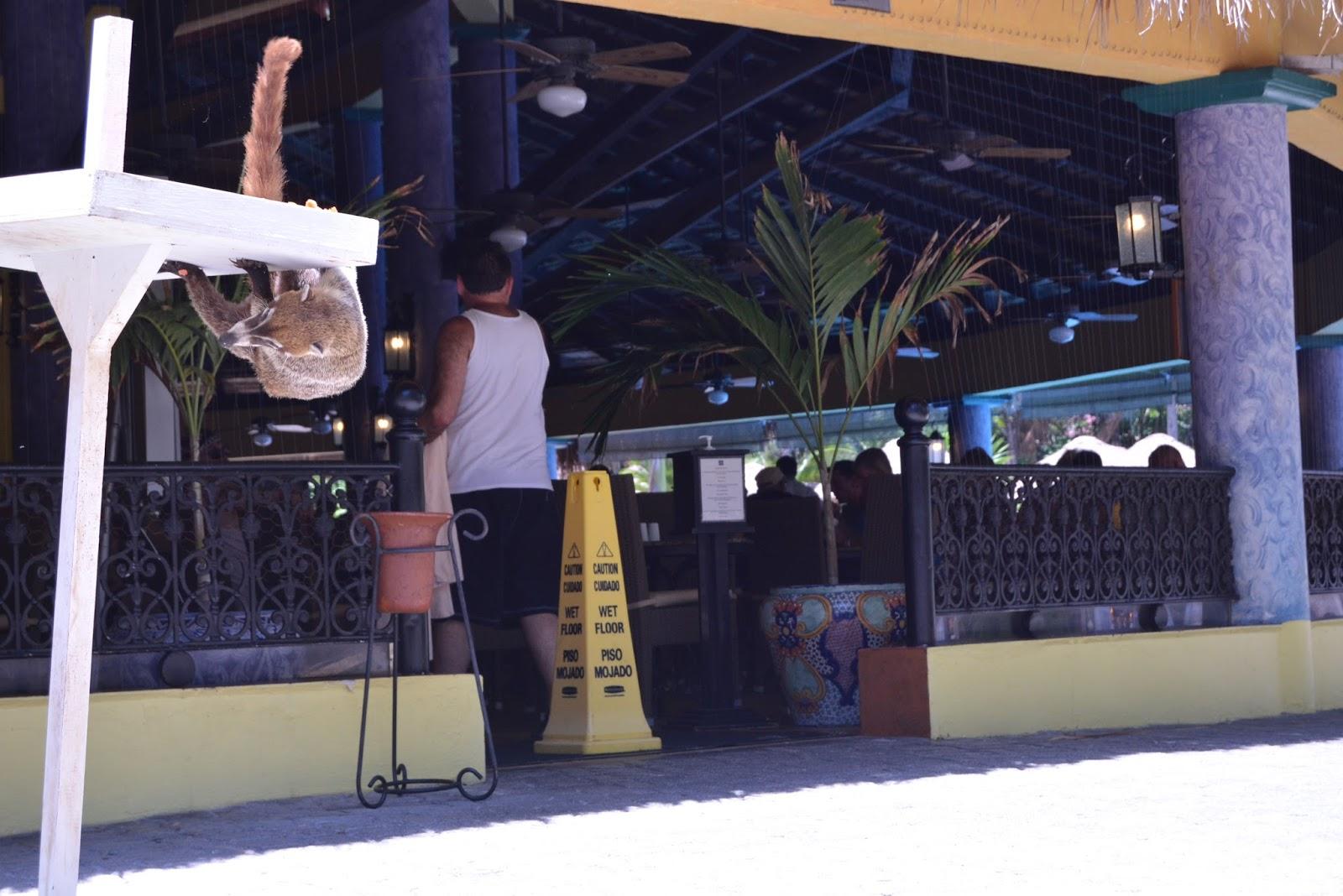 coati, nature, wildlife, photography, mexico, travel, traveling, holiday, playa del carmen