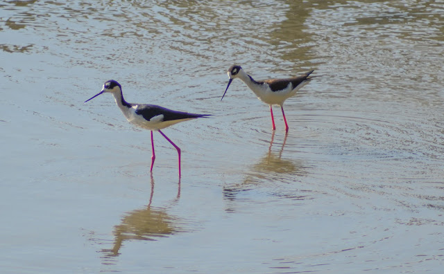 black neck stilts bird