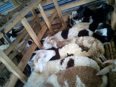 Perencanaan ternak Domba