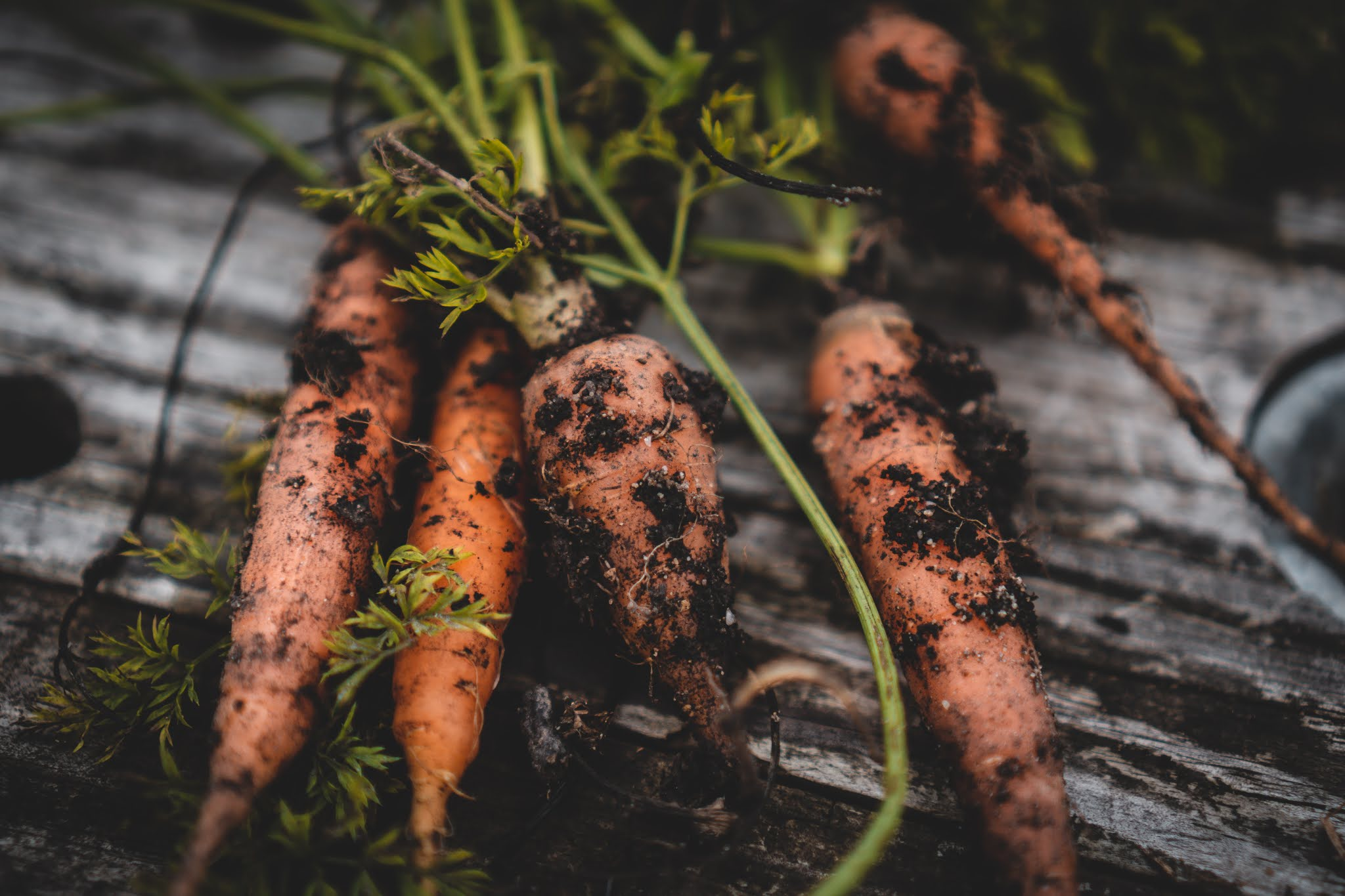 Harvesting and storing carrots