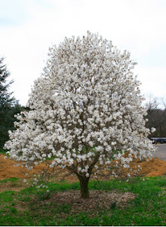 Star Magnolia Magnolia Trees