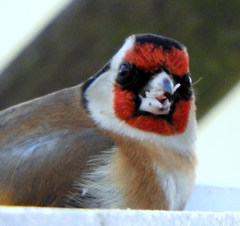 Le Monde De Shuki Oiseaux Du Jardin Comptage Annuel