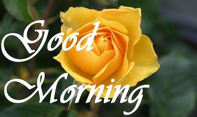 Good Morning Yellow Rose HD Images