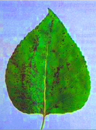 Bacterial leaf spot on a poplar leaf