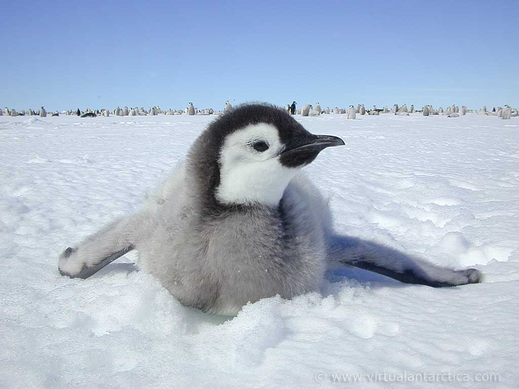 Emperor Penguin | Info and Photos | The Wildlife
