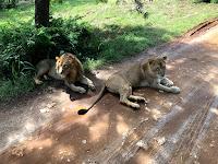 lions,ridiyagama safari park,srilanka
