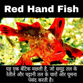 Red Hand Fish,Hand Fish,Hand Fish,Look like,Hand Fish Found,Hand Fish Life Cycle,Types Of Hand Fish