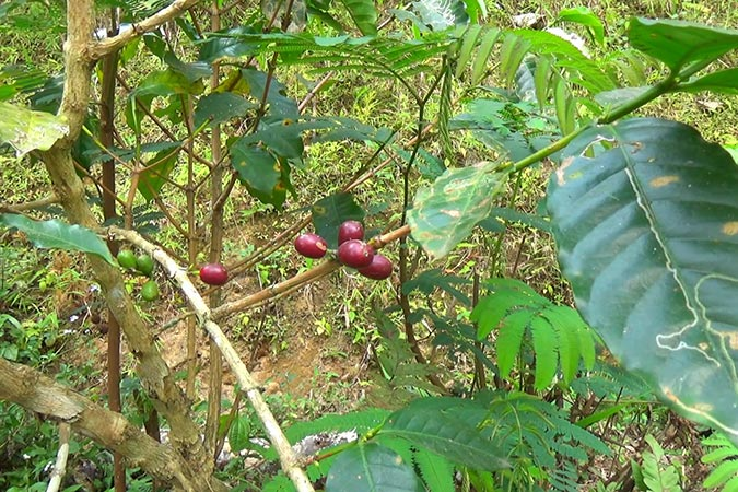 Dlium Coffee (Coffea arabica)