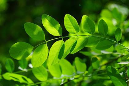 6 Manfaat daun kelor untuk kesehatan dan cara pengolahannya