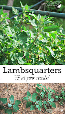 Lambsquarters are an excellent source of protein, vitamin A, and B vitamins, and are probably already growing wild in your garden - so why not eat your weeds?