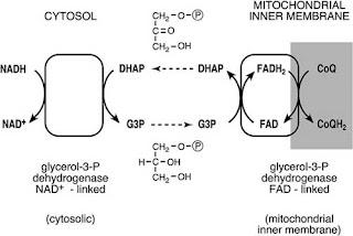 Mitochondrial inner membrane